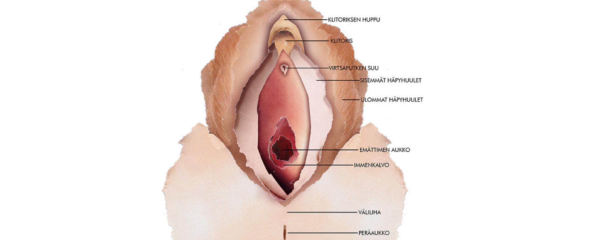 Vulvan anatomia -piirroskuva.