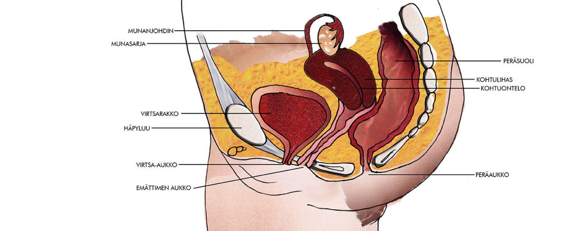 Emättimen anatomia -piirroskuva